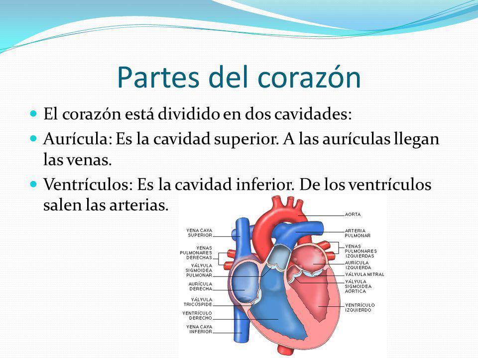 Partes del corazón El corazón está dividido en dos cavidades:
