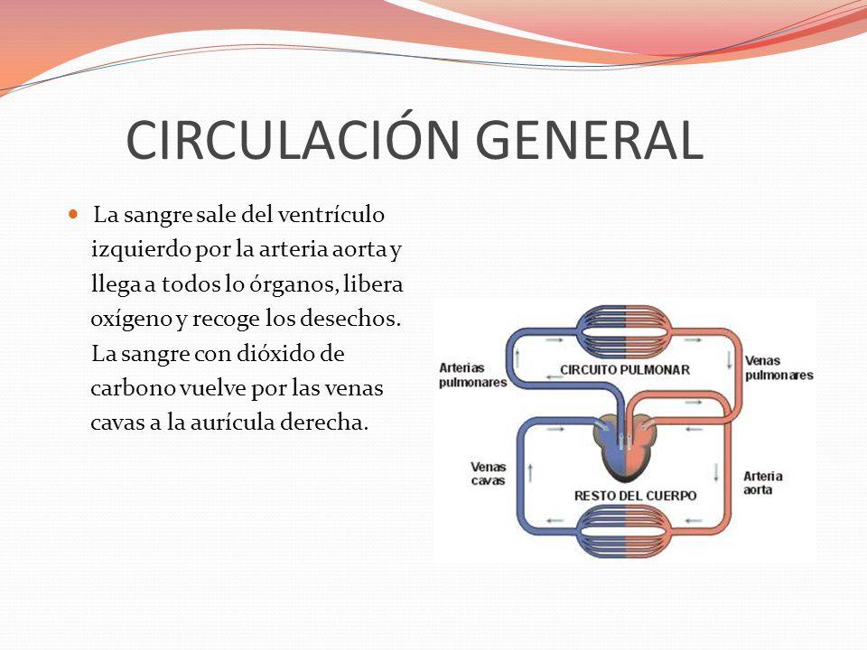 CIRCULACIÓN GENERAL La sangre sale del ventrículo