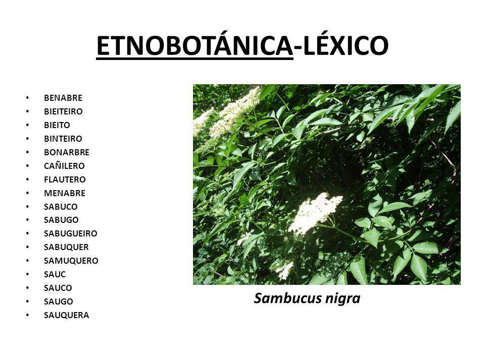 ETNOBOTÁNICA-LÉXICO Sambucus nigra BENABRE BIEITEIRO BIEITO BINTEIRO