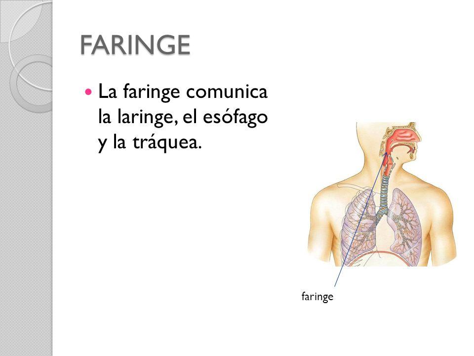 FARINGE La faringe comunica la laringe, el esófago y la tráquea.