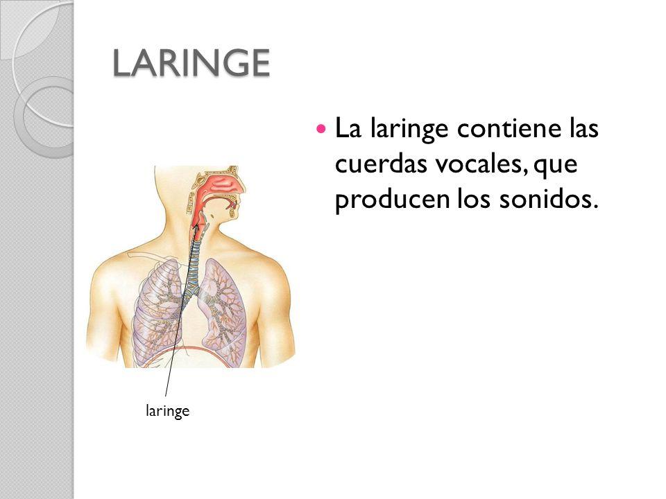 LARINGE La laringe contiene las cuerdas vocales, que producen los sonidos. laringe