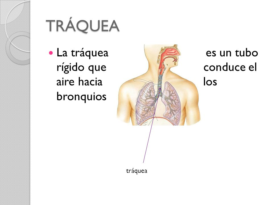 TRÁQUEA