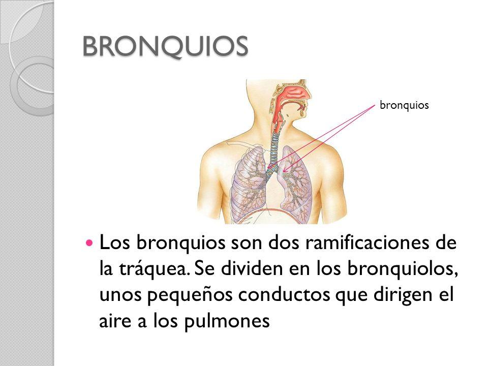 BRONQUIOS bronquios.