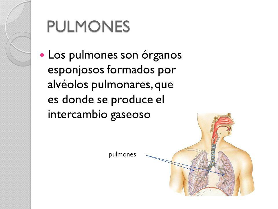 PULMONES Los pulmones son órganos esponjosos formados por alvéolos pulmonares, que es donde se produce el intercambio gaseoso.