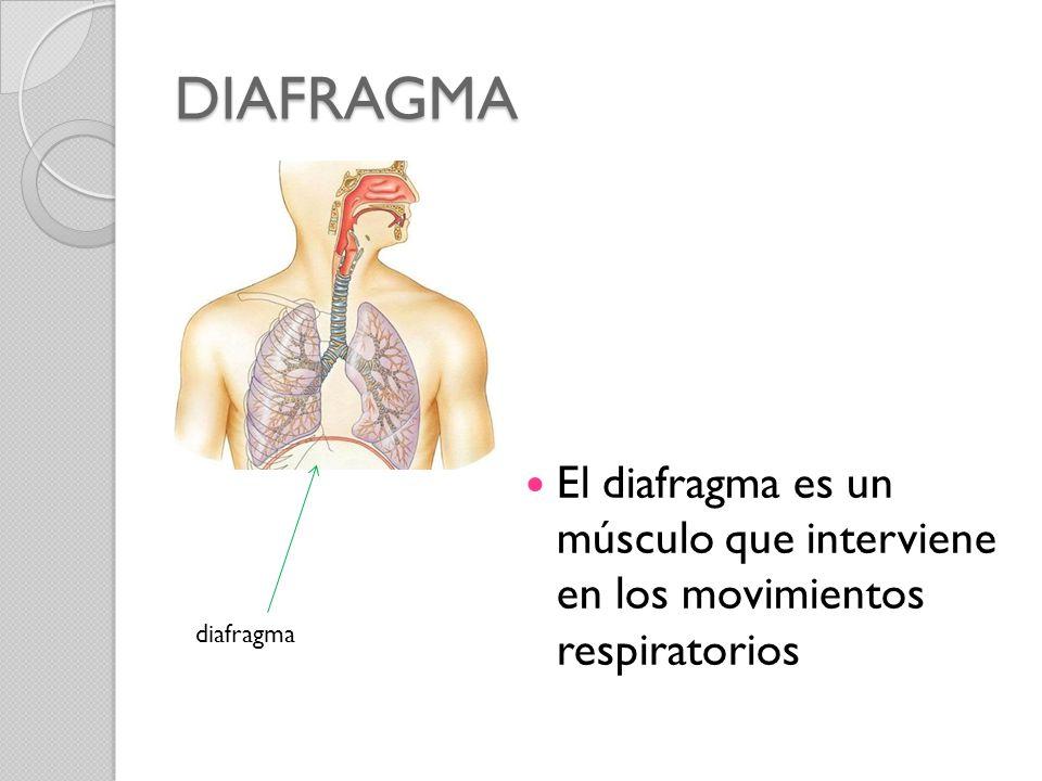 DIAFRAGMA El diafragma es un músculo que interviene en los movimientos respiratorios diafragma