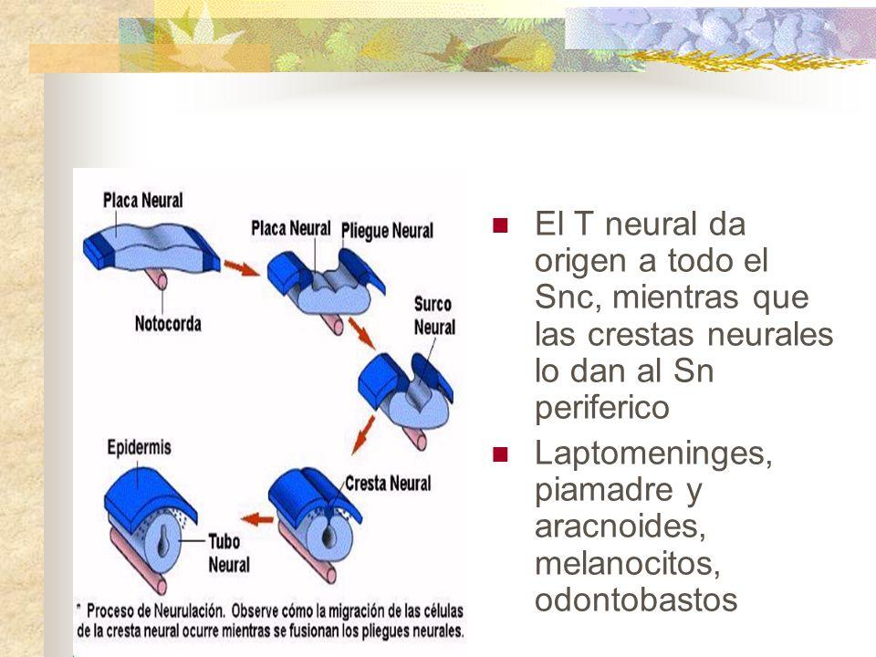El T neural da origen a todo el Snc, mientras que las crestas neurales lo dan al Sn periferico