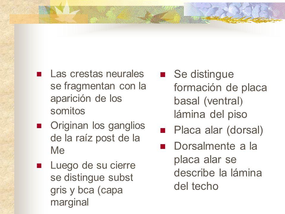 Se distingue formación de placa basal (ventral) lámina del piso
