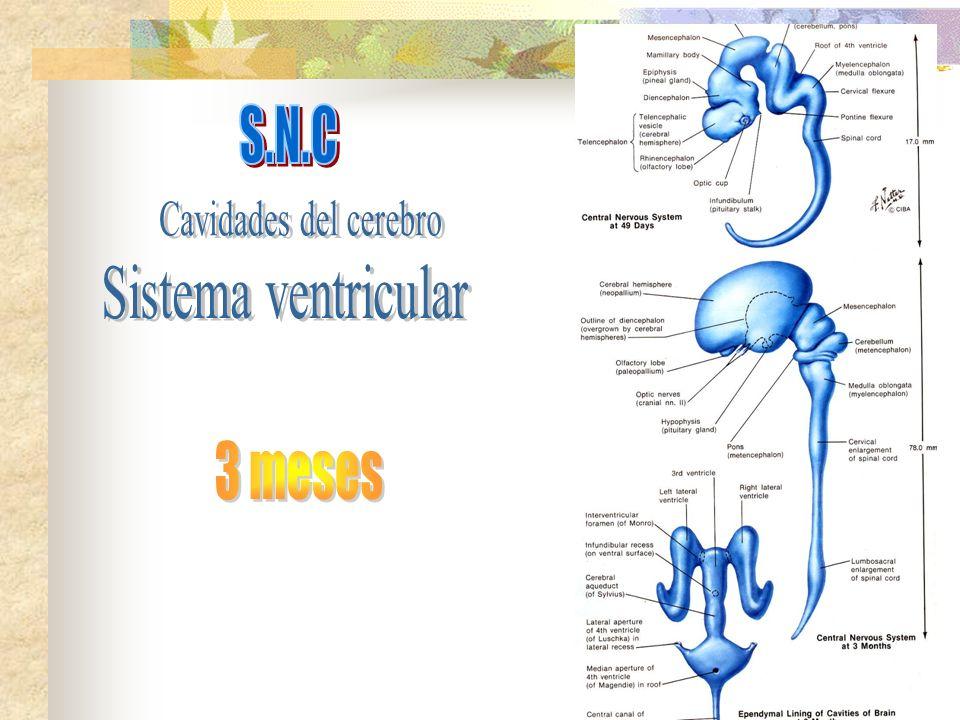 S.N.C Cavidades del cerebro Sistema ventricular 3 meses