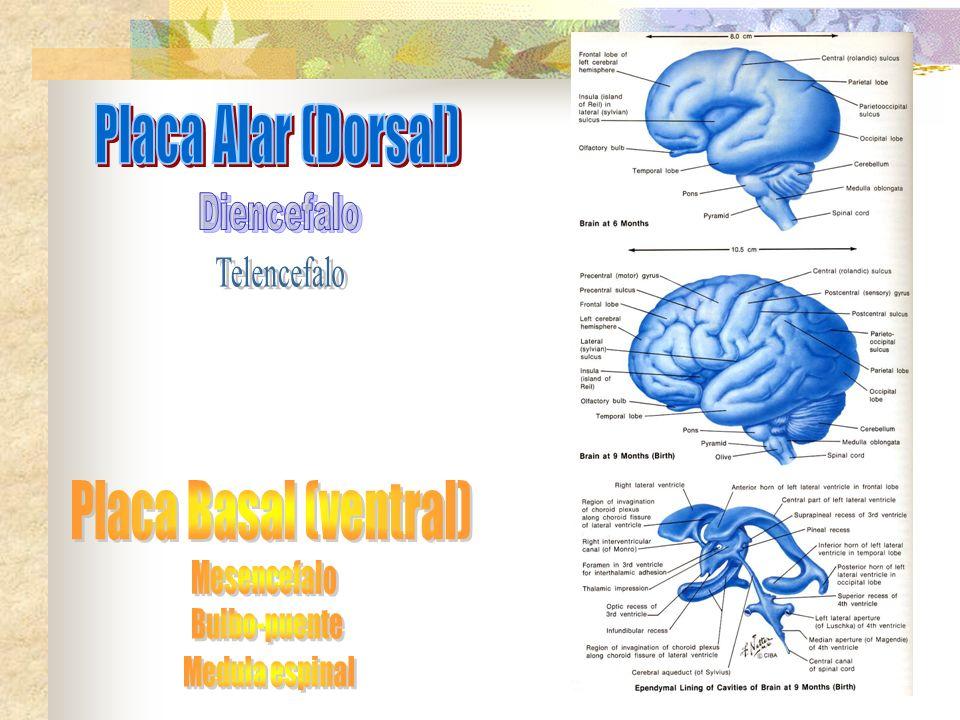 Placa Alar (Dorsal) Placa Basal (ventral) Diencefalo Telencefalo