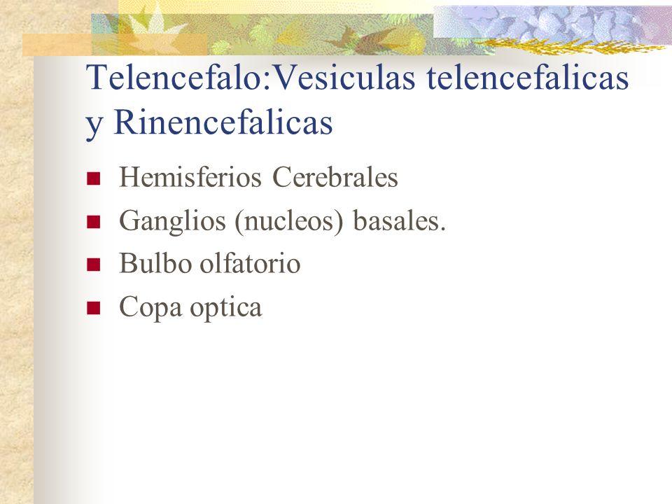 Telencefalo:Vesiculas telencefalicas y Rinencefalicas
