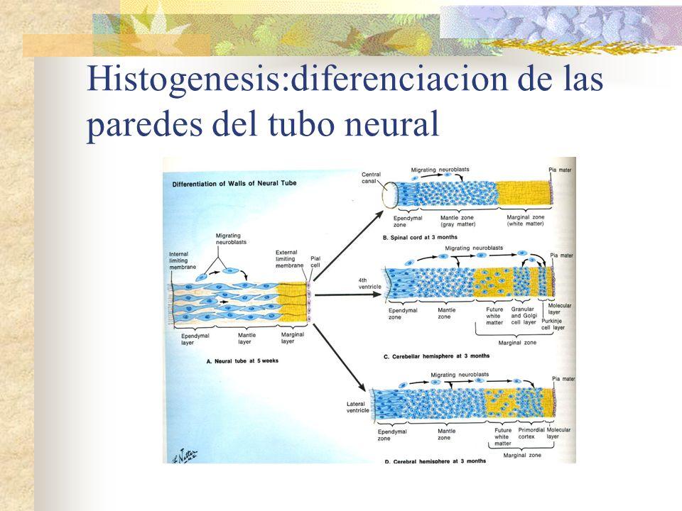 Histogenesis:diferenciacion de las paredes del tubo neural
