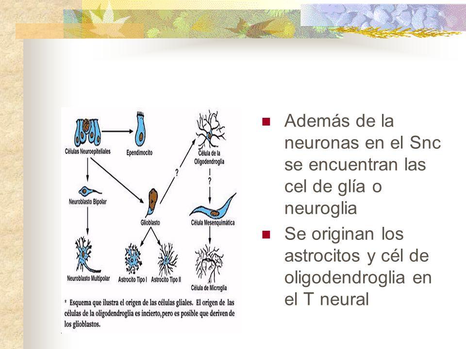 Además de la neuronas en el Snc se encuentran las cel de glía o neuroglia