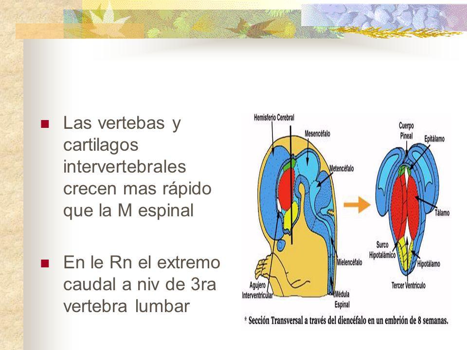 Las vertebas y cartilagos intervertebrales crecen mas rápido que la M espinal
