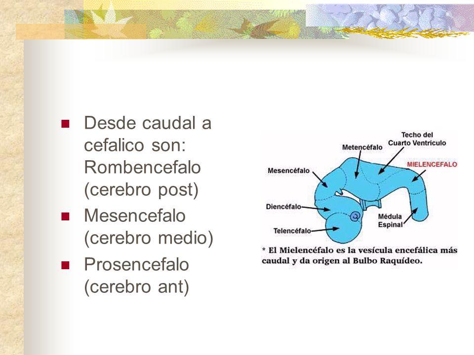 Desde caudal a cefalico son: Rombencefalo (cerebro post)