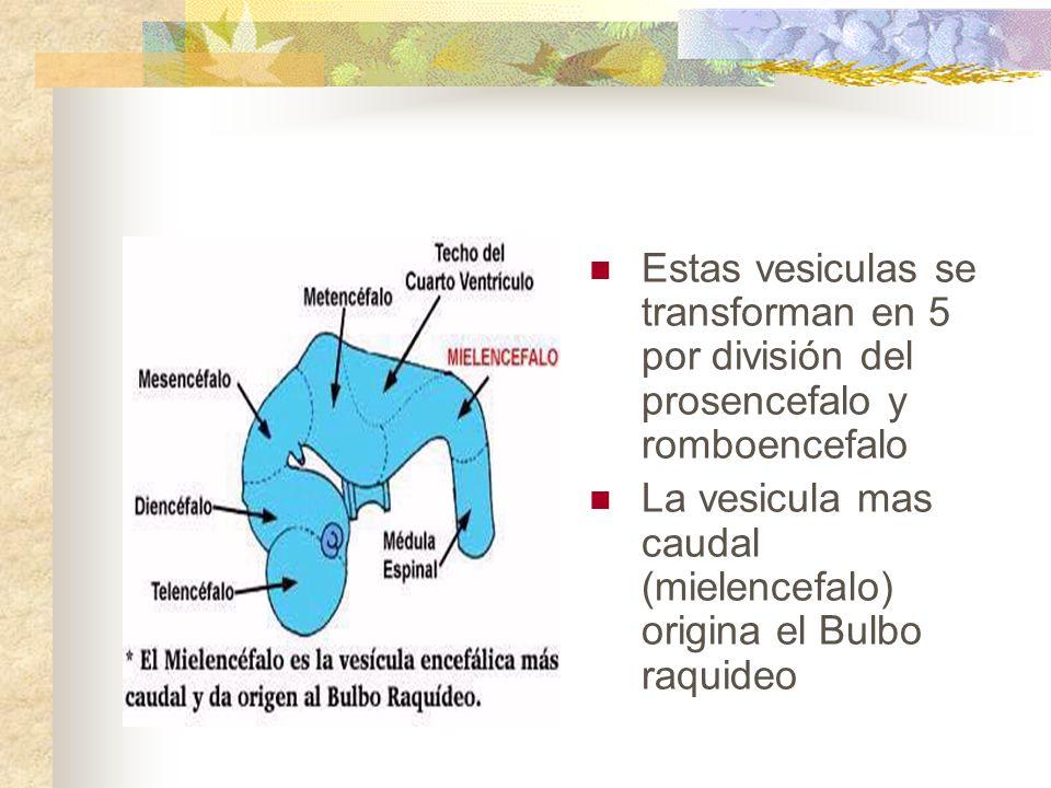 Estas vesiculas se transforman en 5 por división del prosencefalo y romboencefalo