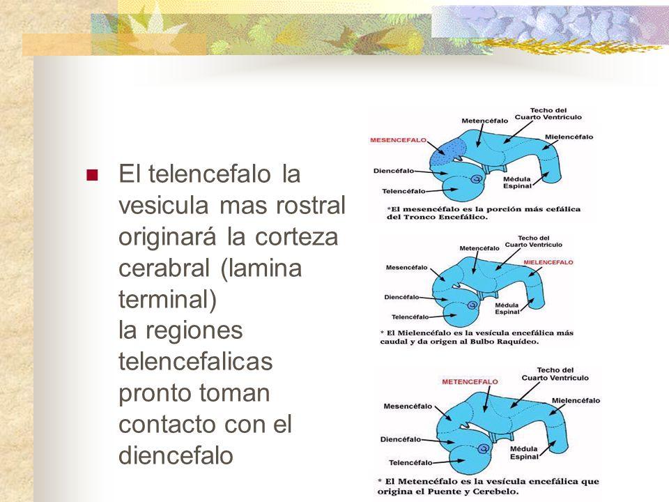 El telencefalo la vesicula mas rostral originará la corteza cerabral (lamina terminal) la regiones telencefalicas pronto toman contacto con el diencefalo