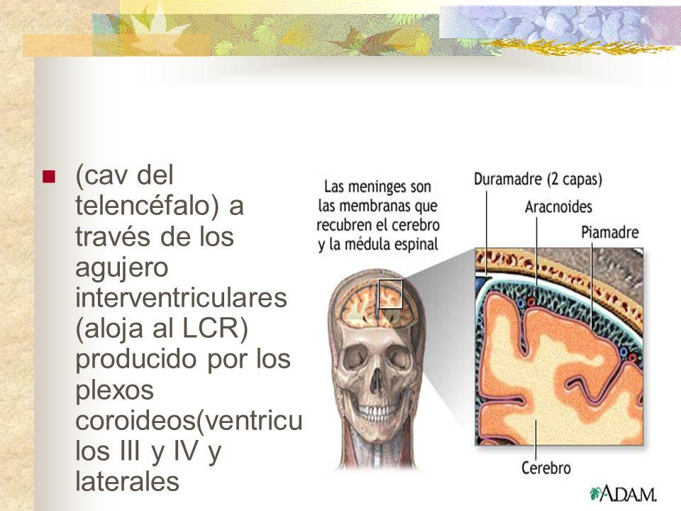 (cav del telencéfalo) a través de los agujero interventriculares (aloja al LCR) producido por los plexos coroideos(ventriculos III y IV y laterales