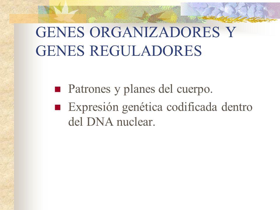 GENES ORGANIZADORES Y GENES REGULADORES