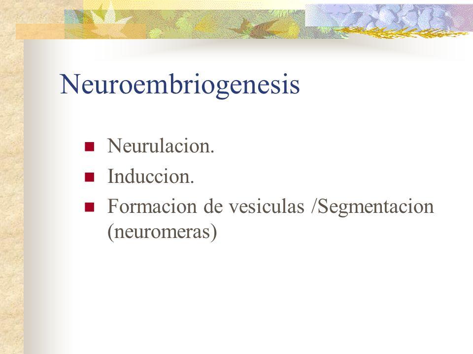 Neuroembriogenesis Neurulacion. Induccion.