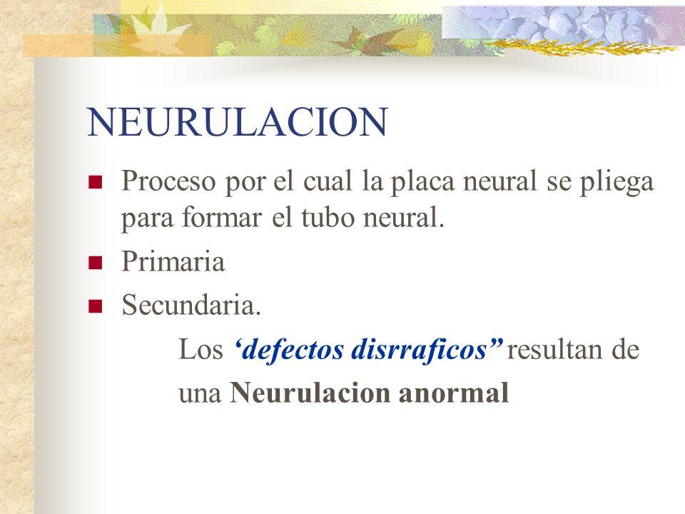 NEURULACION Proceso por el cual la placa neural se pliega para formar el tubo neural. Primaria. Secundaria.