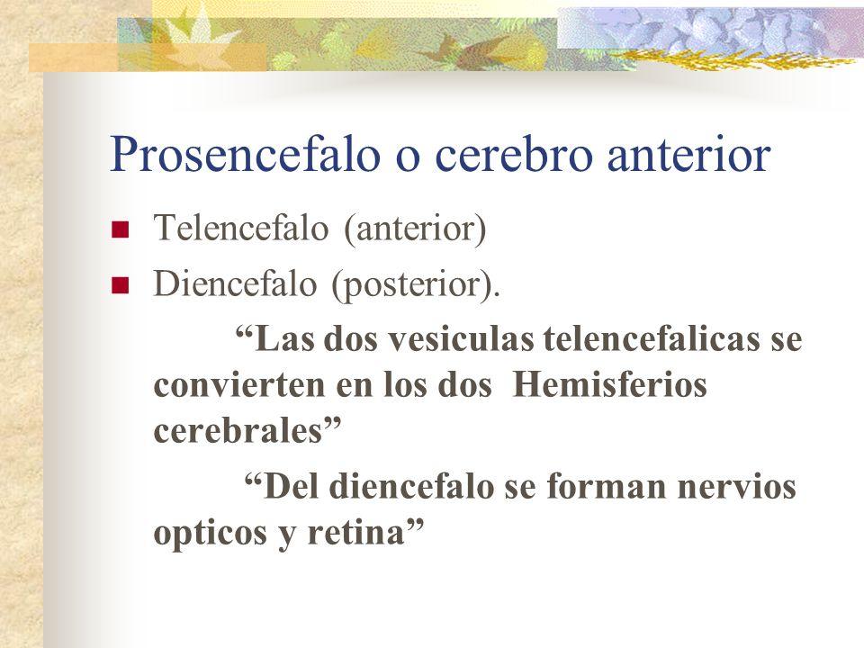 Prosencefalo o cerebro anterior