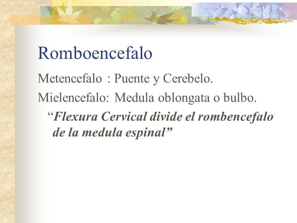 Romboencefalo Metencefalo : Puente y Cerebelo.