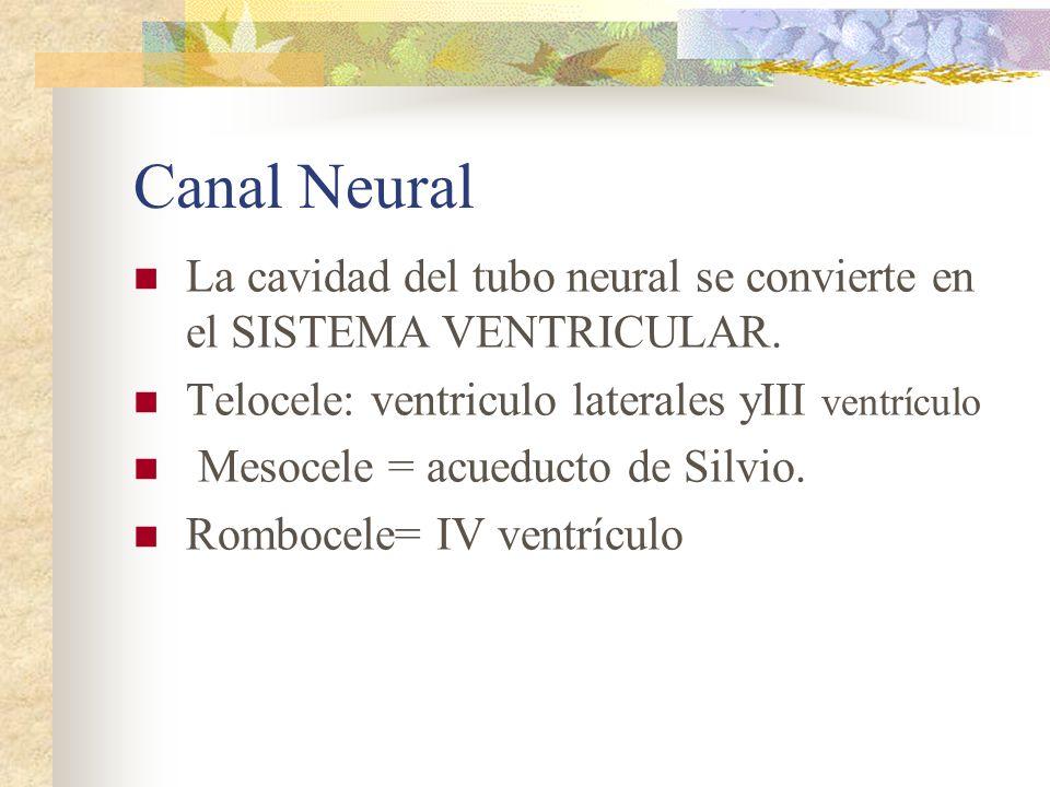 Canal Neural La cavidad del tubo neural se convierte en el SISTEMA VENTRICULAR. Telocele: ventriculo laterales yIII ventrículo.