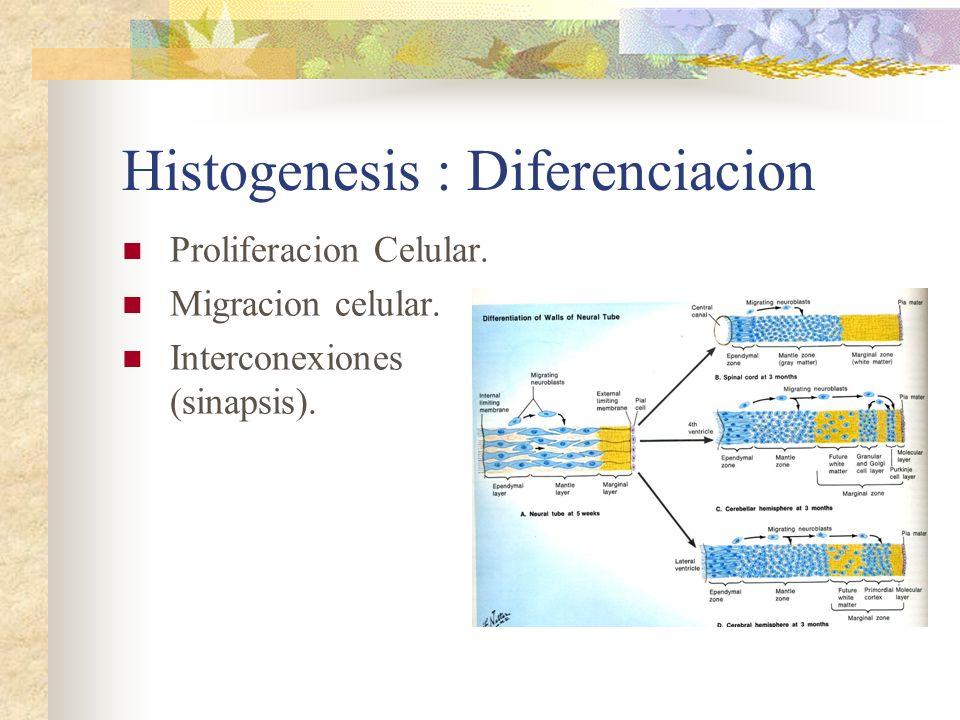 Histogenesis : Diferenciacion