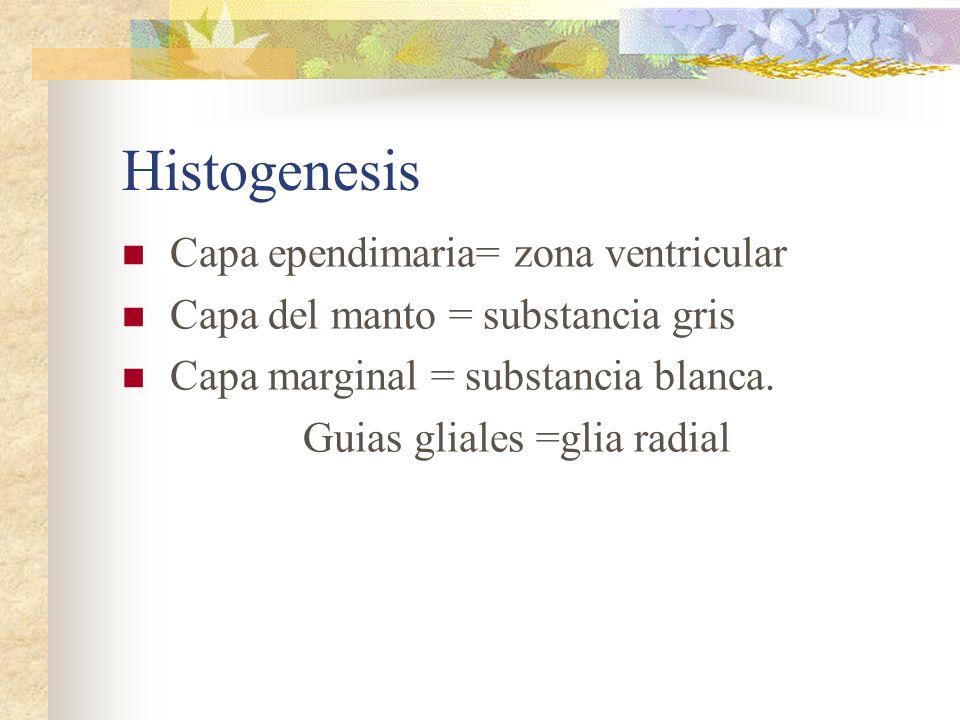 Histogenesis Capa ependimaria= zona ventricular