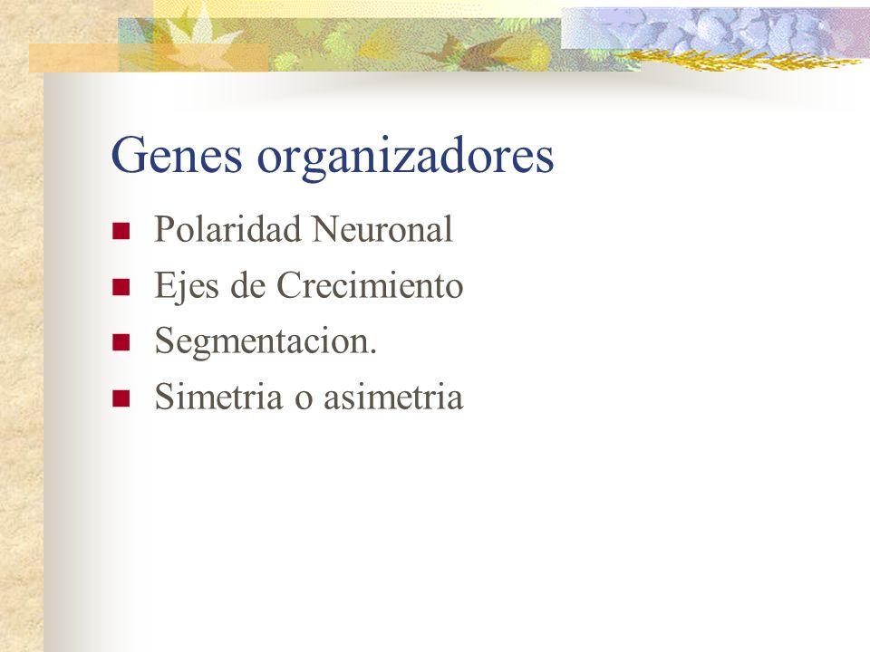 Genes organizadores Polaridad Neuronal Ejes de Crecimiento