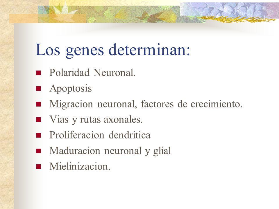 Los genes determinan: Polaridad Neuronal. Apoptosis