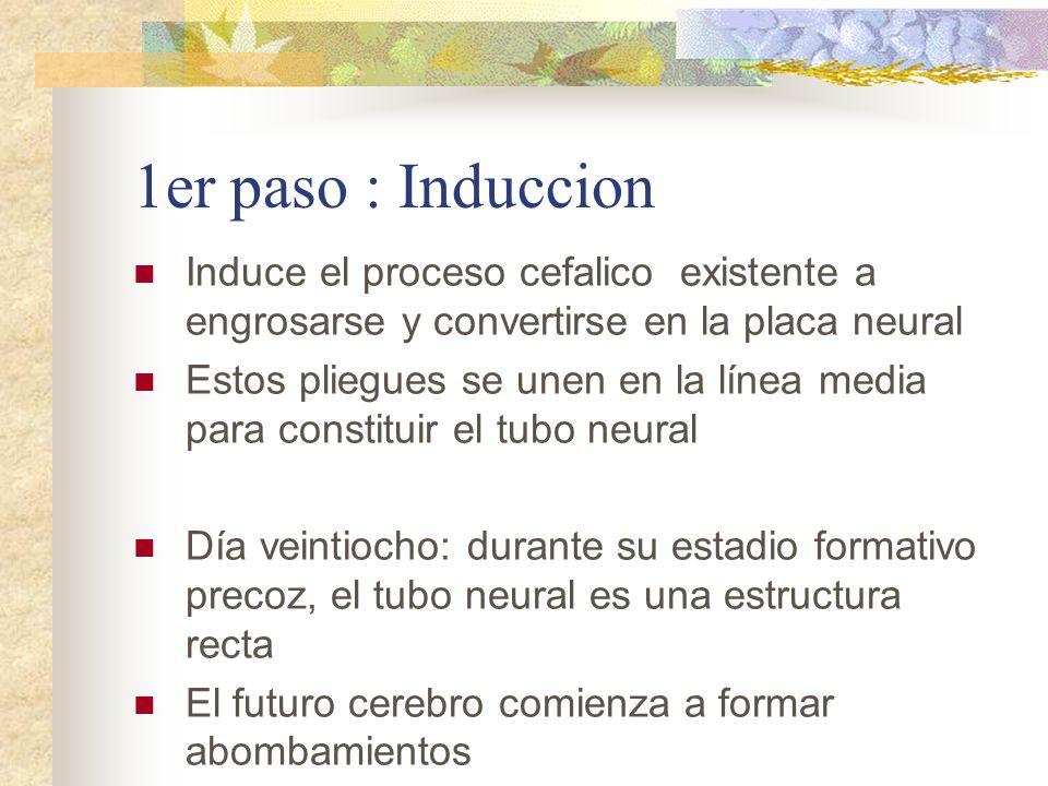 1er paso : Induccion Induce el proceso cefalico existente a engrosarse y convertirse en la placa neural.