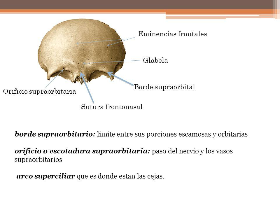 Eminencias frontales Glabela. Borde supraorbital. Orificio supraorbitaria. Sutura frontonasal.