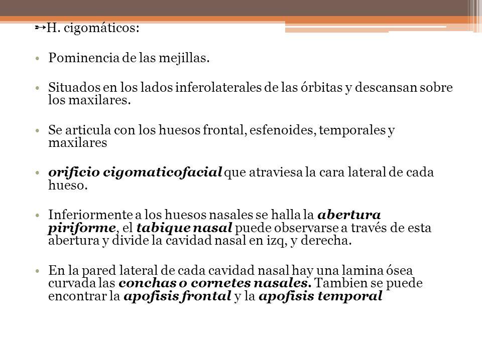 ➵H. cigomáticos: Pominencia de las mejillas. Situados en los lados inferolaterales de las órbitas y descansan sobre los maxilares.