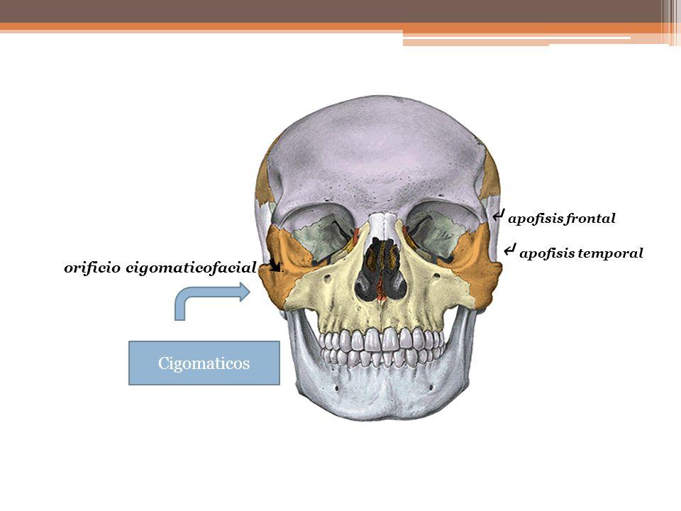 ↵ apofisis frontal ↵ apofisis temporal Cigomaticos