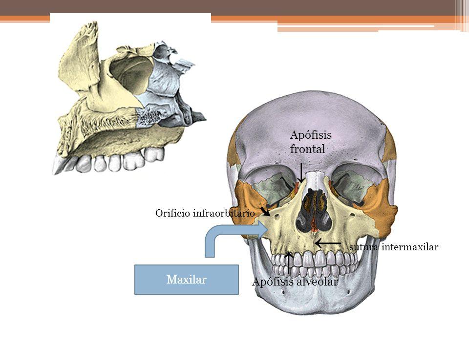 ← sutura intermaxilar ↓ ↑ Apófisis frontal Apófisis alveolar Maxilar