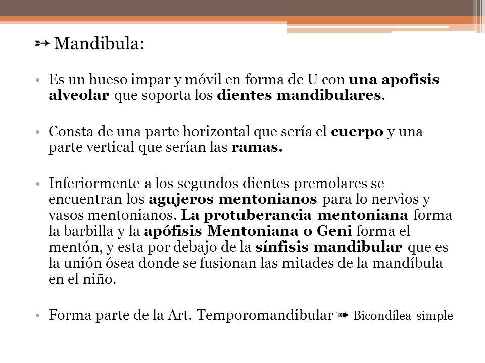 ➵ Mandibula: Es un hueso impar y móvil en forma de U con una apofisis alveolar que soporta los dientes mandibulares.