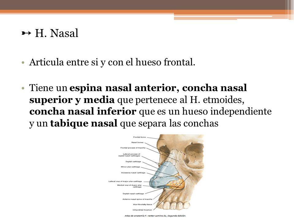 ➸ H. Nasal Articula entre si y con el hueso frontal.