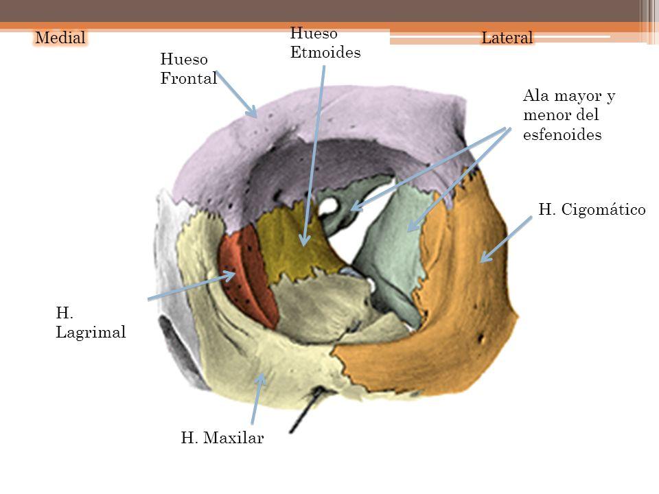Hueso Etmoides Medial. Lateral. Hueso Frontal. Ala mayor y menor del esfenoides. H. Cigomático.