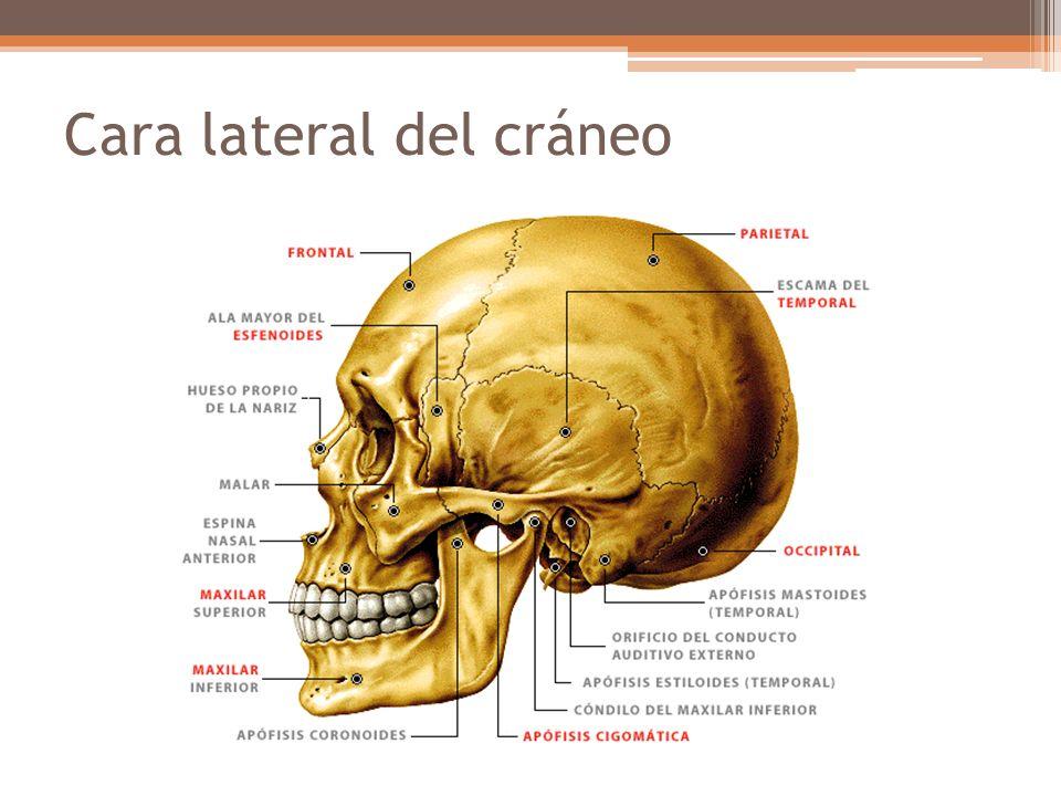 Cara lateral del cráneo