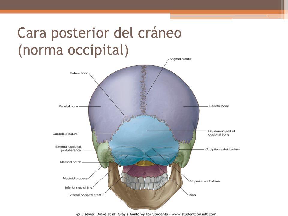 Atractivo Parte Posterior Del Cráneo Humano Bosquejo - Imágenes de ...