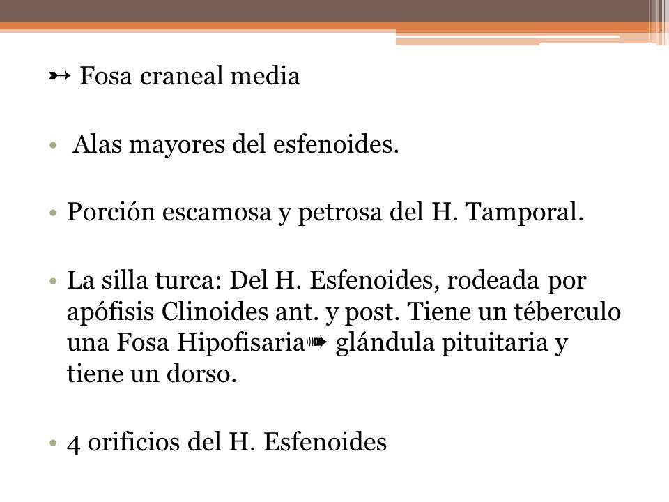 ➸ Fosa craneal media Alas mayores del esfenoides. Porción escamosa y petrosa del H. Tamporal.