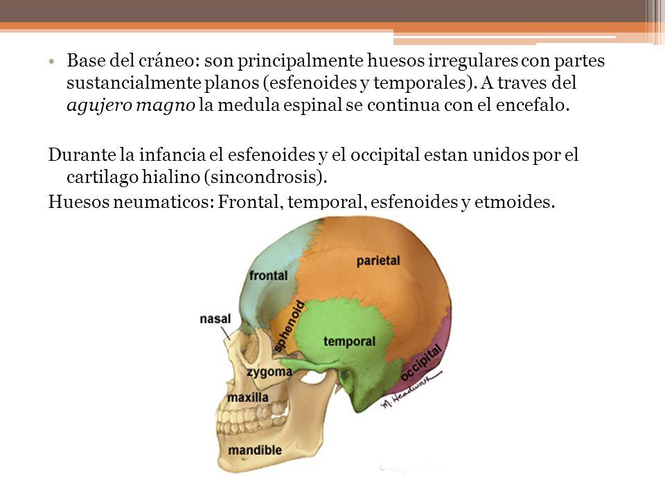 Base del cráneo: son principalmente huesos irregulares con partes sustancialmente planos (esfenoides y temporales). A traves del agujero magno la medula espinal se continua con el encefalo.