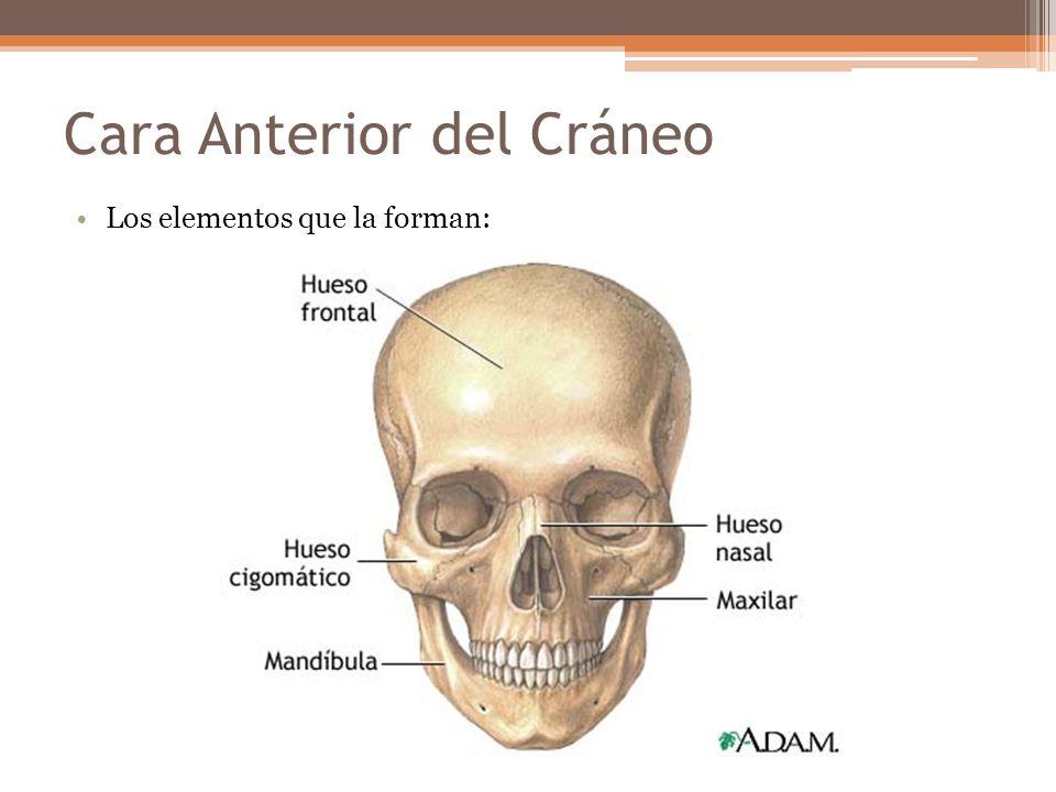 Cara Anterior del Cráneo