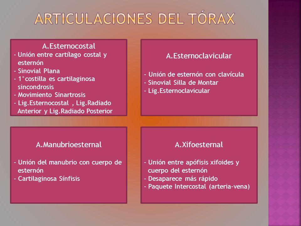 Articulaciones del tórax