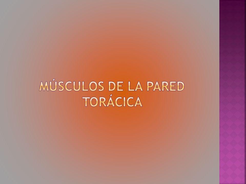 Músculos de la pared torácica
