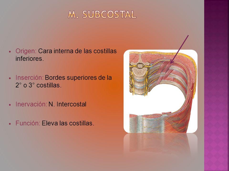 m. Subcostal Origen: Cara interna de las costillas inferiores.