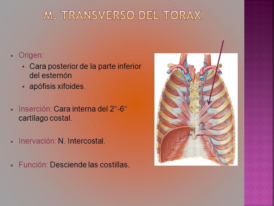 m. Transverso del tórax Origen: