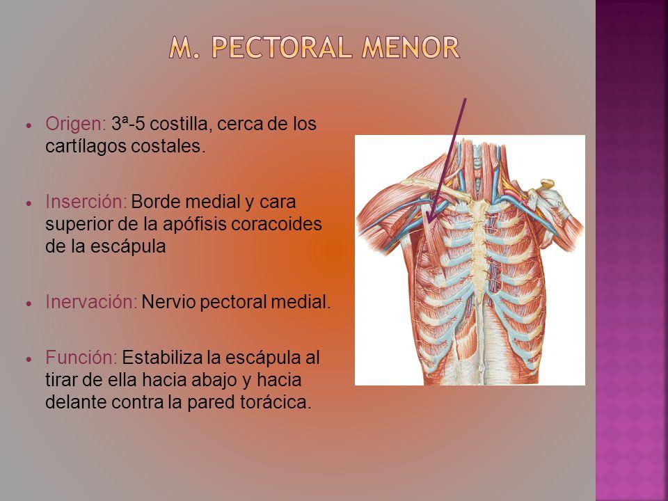 m. Pectoral menor Origen: 3ª-5 costilla, cerca de los cartílagos costales.