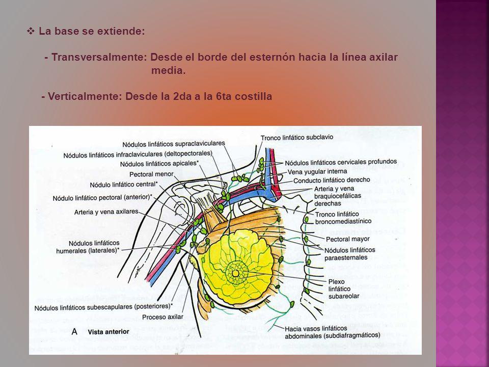 La base se extiende: - Transversalmente: Desde el borde del esternón hacia la línea axilar. media.